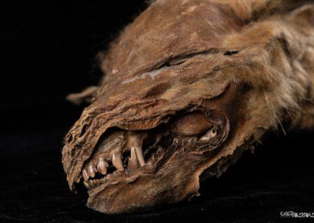 کشف سالم ترین مومیایی گرگ با ۵۷ هزار سال قدمت در کانادا+عکس