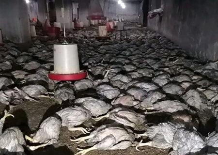 زنده زنده کباب شدن 6 هزار مرغ در مهاباد