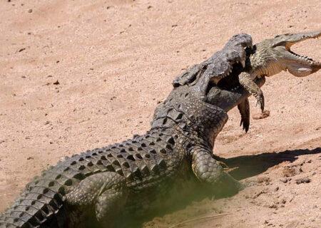 عکس صحنه عجیب خوردن یک تمساح توسط تمساح بزرگتر
