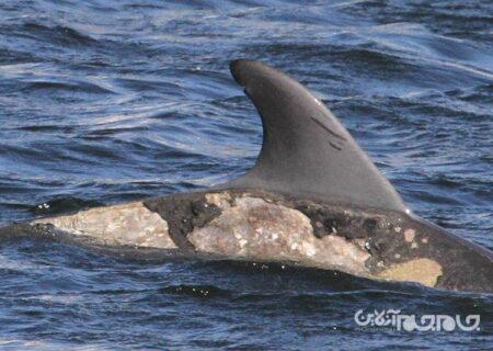 شناسایی علت بروز بیماری مرموز پوستی در دلفینها+عکس