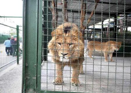 شیر باغ وحش مشهد مسموم و کشته شد/ علت مرگ گوزن و گراز هم اعلام شد + عکس