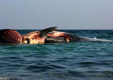 توضیح محیط زیست درباره ۲  لاشه نهنگ در ساحل کیش