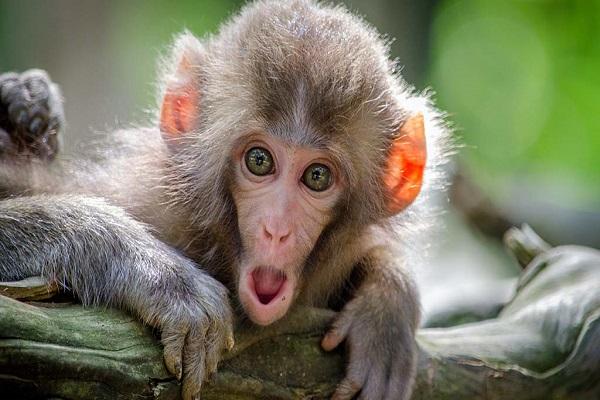 میمون هایی که بدون استفاده از چشم می بینند