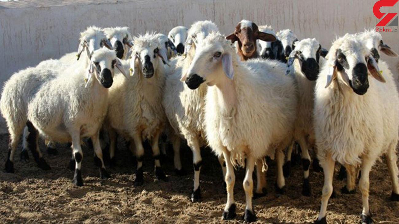 کشف گوسفندان میلیاردی در آباده