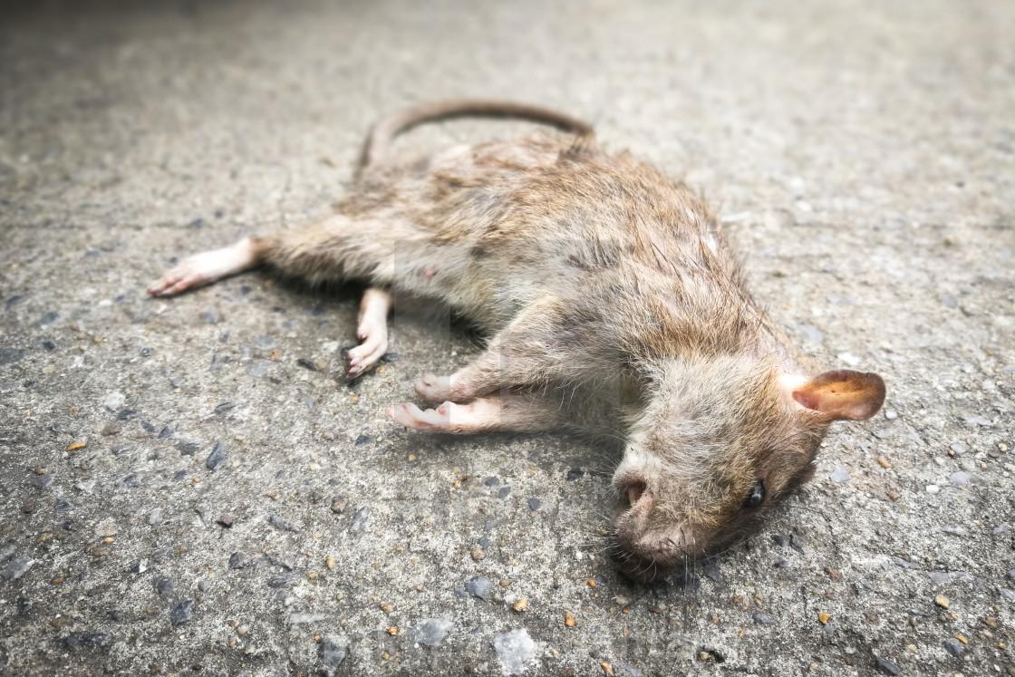 موش مرده