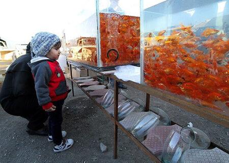 ماهی قرمز شب عید/ ناقل ویروس کرونا !