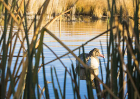 آنفلوآنزای پرندگان در تالاب میقان اراک