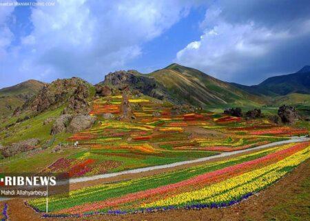 مزرعه گل های لزور منظره ای شگفت انگیز