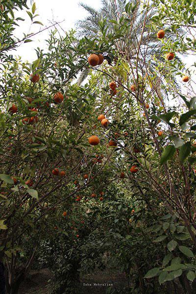 طبس؛ سرزمین رفاقت نخل و پرتقال