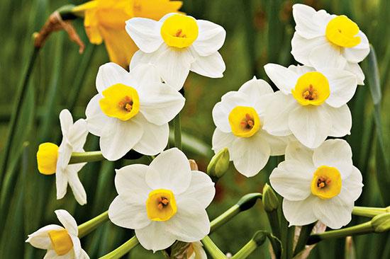 کاشت و نگهداری گل نرگس