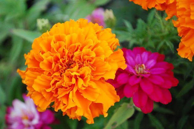 گل همیشه بهار مزایا و زیبایی