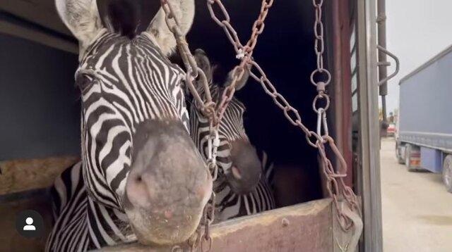 آزار گورخر آفریقایی در بدو ورود به ایران به همراه فیلم