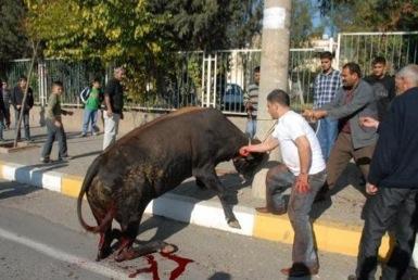 گاو زخمی در تهران از دست قصاب فرار کرد!/مرد گاوکش در کاشمر دستگیر شد!
