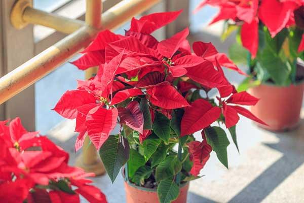 سرخ برگه/گیاهان آپارتمانی مقاوم