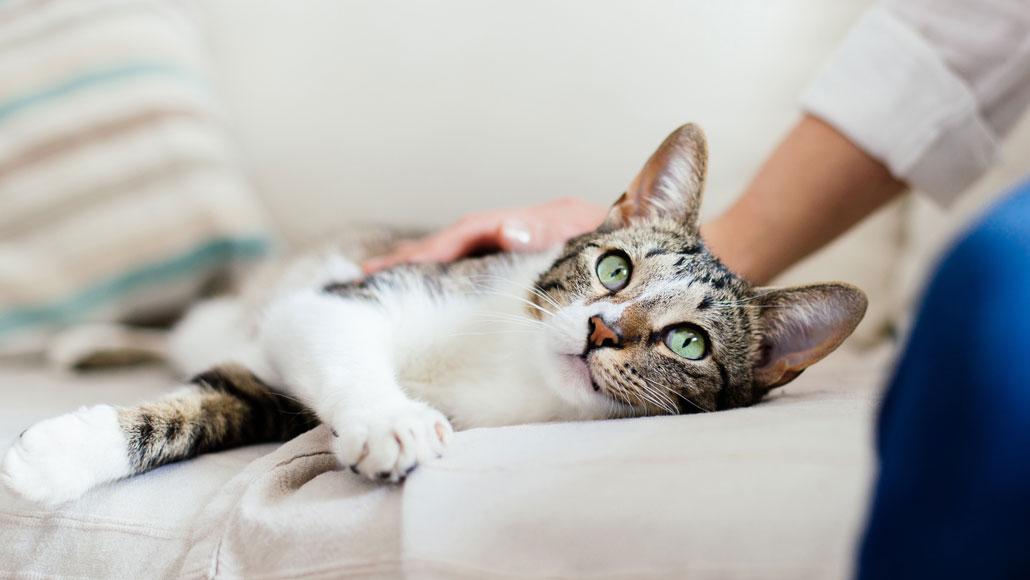 زبان بدن گربه ها / چرا گربه ام دائم به من یا اشیای دیگر خیره می شود؟
