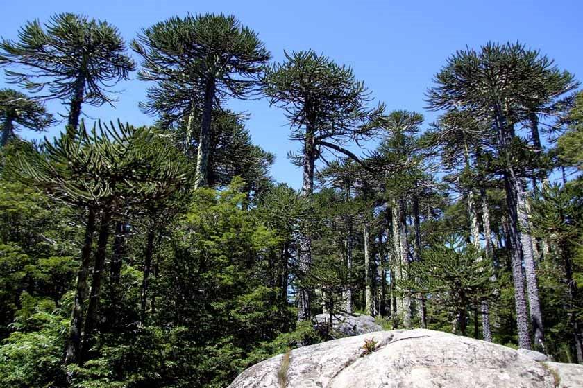 جنگل آراوکاریا/ شگفت انگیزترین جنگل های ترسناک باستانی جهان