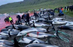 فیلم کشتار بیش از ۱۴۰۰ دلفین در جزایر فارو دوباره جنجال آفرین شد