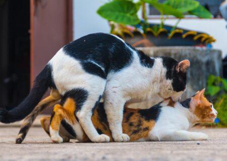 گربه ها چگونه جفتگیری می کنند؟