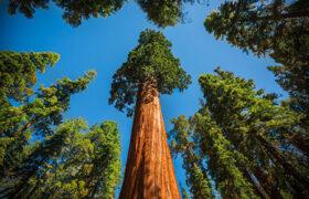 کشیدن فویل آلومینیومی به دور بلندترین درخت جهان برای نجات جانش